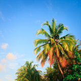 Palm Tree in the Blue sky Stock Photography