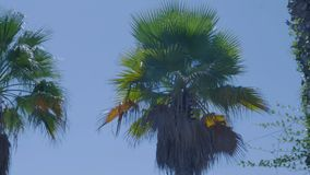 Palm tree on blue sky.  stock video