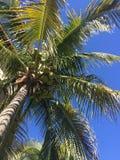 Palm tree. Blue sky paradise Stock Photography