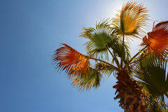 Palm tree with blue sky Stock Photo