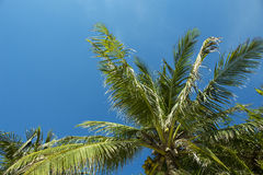 Palm tree and blue sky. Sunny day at the tropical island Stock Images