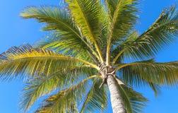 Palm tree on blue sky. Palm trees on blue sky Stock Photos