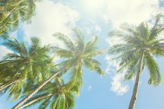 Palm tree and blue sky under sunlight. Tropical scene with palm leaves on sky background. White fluffy clouds. Coco palm tree crowns. Summer vacation day on Royalty Free Stock Image