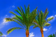 Palm tree on blue sky Stock Photos