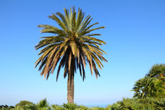 Palm tree in the blue sunny sky Stock Photos