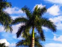 Palm tree with blue vivid sky Stock Photos