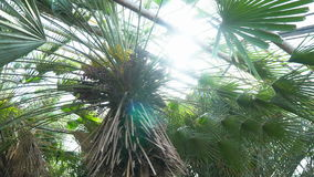 Palm tree in a botanical garden. Big green palm tree in the botanical garden stock video