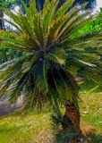 Palm tree in the botanical garden of Sri Lanka royalty free stock images