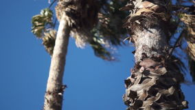 Palm tree, a bottom view. The camera moves in a horizontal plane stock footage