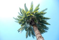 A palm tree. A bottom view of a palm tree with clear turquoise sky Royalty Free Stock Photo