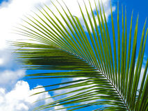 Palm tree branch. And sky Royalty Free Stock Photo