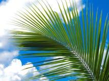 Palm tree branch Royalty Free Stock Photo
