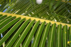 Palm Tree Branch. Close-up of tropical palm tree branch - excellent background image Royalty Free Stock Image