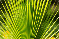 Palm Tree Branch Royalty Free Stock Photos