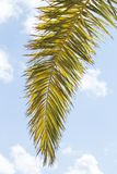 Palm tree branch. Over blue sky royalty free stock photography