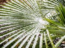 Palm Tree Branch under snow Royalty Free Stock Photo