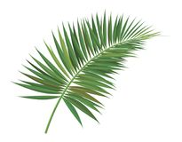 Palm tree  branch vector Royalty Free Stock Photo
