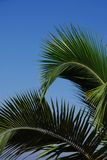Palm tree branches. On a blue sky Stock Photography
