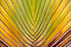 Palm tree branches abstract texture. Close-up of traveller s palm traveller s tree Royalty Free Stock Photo