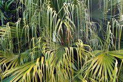 Palm tree branches close-up Stock Image