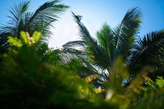 Palm tree branches. Close-up Goa. India. On the background of blue sky Stock Photography