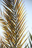 Palm tree branches. At farm in western Desert Egypt Stock Photo