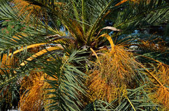 Palm Tree Branches and Fruits. Lush green and golden palm tree branches and fruits Stock Images