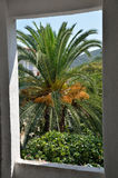 Palm Tree Branches and Fruits through Window. Lush green and golden palm tree foliage and fruits through window Stock Image