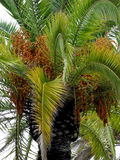 Palm tree. With branches, leaves and fruits Stock Image