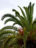 Palm tree. With branches, leaves and fruits Royalty Free Stock Images