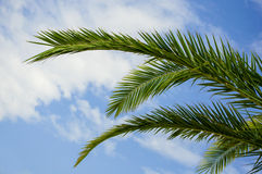 Palm tree branches Stock Image