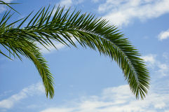 Palm tree branches Stock Images