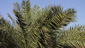 Palm tree branches sway in the wind. Beautiful green palm branches are swaying in the wind stock video footage
