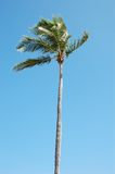 Palm tree with breeze. Palm tree in breeze at tropical destination Stock Photography