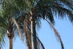 Palm Tree. In the Breeze Royalty Free Stock Image