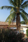 Palm tree, Burkina Faso. A palm tree in Bobo-Dioulasso, Burkina Faso royalty free stock photos
