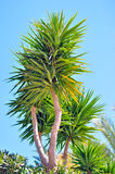 Palm tree bush. In spring time. Picture taken on a sunny warm day Stock Image