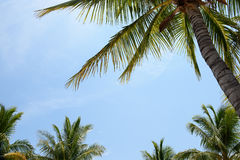 Palm Tree canopy. /leaves against a blue tropical sky Stock Images