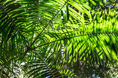Palm Tree Canopy Royalty Free Stock Images