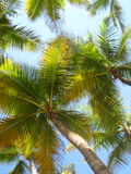 PALM TREE CANOPY Royalty Free Stock Photography