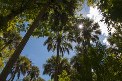 Palm tree canopy Royalty Free Stock Photo