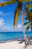 Palm tree on a Caribbean beach. In Dominican Republic Royalty Free Stock Photos