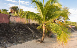 The palm tree on caribbean beach, Martinique island. The palm tree on  caribbean beach , Martinique island, French West Indies Stock Image