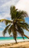 The palm tree on Caribbean beach, Martinique island. The palm tree on Caribbean beach, Martinique island, French West Indies Royalty Free Stock Photo