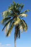 Palm Tree, Caribbean Royalty Free Stock Image