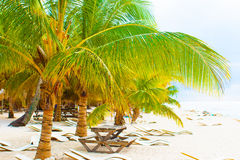 Palm tree in the caribbean Royalty Free Stock Image