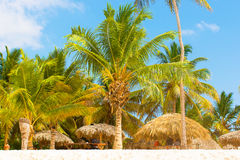 Palm tree in the caribbean Royalty Free Stock Photos