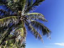 Coconut tree. Palm tree in Caye Caulker, Belize Stock Photos