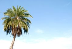 A palm tree. With clear blue sky behind it Royalty Free Stock Image