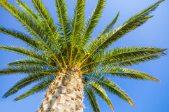 Palm tree on clear blue sky Royalty Free Stock Photography